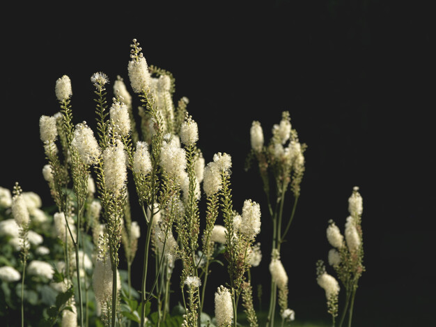 Black cohosh is often used to relieve symptoms of menopause, like nausea and vomiting, mood swings, excessive sweating and more. It is also used to induce labour in pregnant women, PMS and dysmenorrhea (or painful periods).