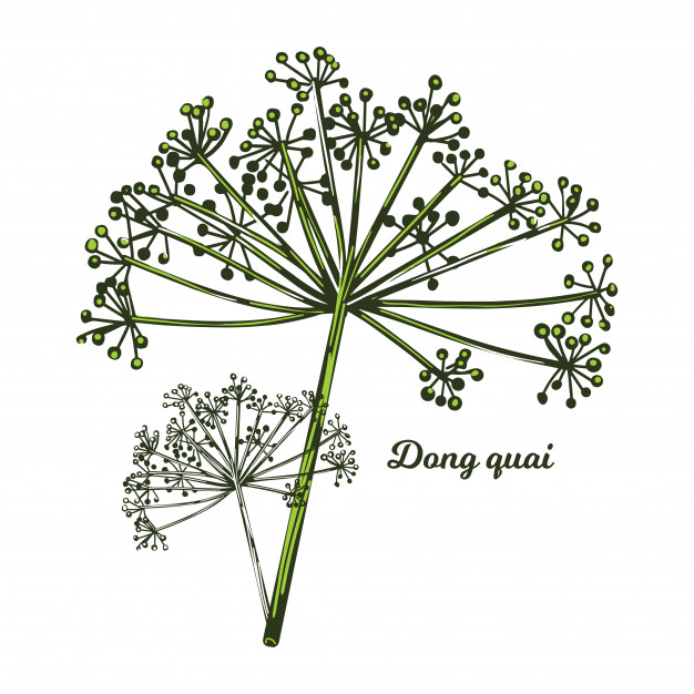 Dong Quai is a herb widely used in traditional Chinese medicine and is known as 'Female Ginseng'. It has been used as a herb for centuries to regulate and avoid symptoms of PMS in a female.